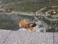 Lajka ve fontáně